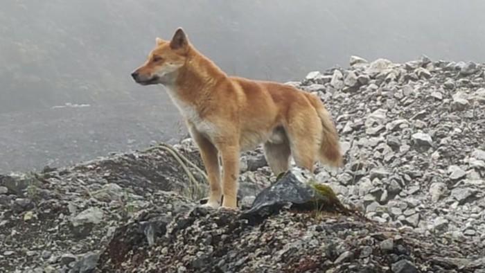 Anjing bernyanyi Papua, hewan sakral yang diperkirakan dibawa ke Papua sejak 3.500 tahun lalu