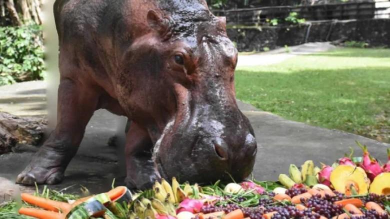 Hippo berumur 55 tahun di kebun binatang Thailand.