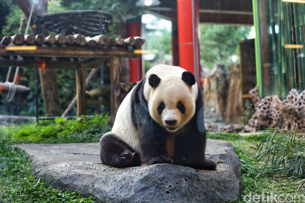 Giant Panda menjadi hewan yang langka untuk ditemukan di Indonesia. Memiliki tingkah lucu, tak heran hewan menggemaskan ini punya banyak penggemar.