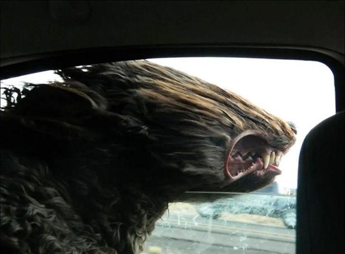 anjing naik mobil