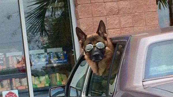 Foto terpopuler keduasoal tingkah gemas anjing saat berkendara dengan mobil. Mulai dari gaya stay cool hingga nyeleneh saat tertidur kelelahan. Tak mau kalah sama majikannya, anjing mengenakan kacamata saat naik mobil. Foto: (dok Bored Panda)