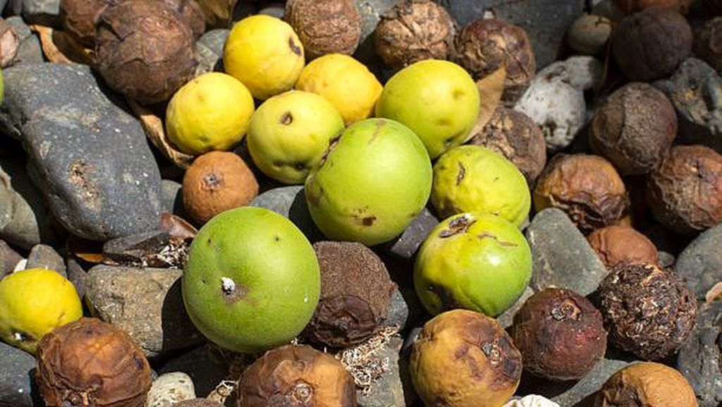 5 Fakta Apel Pantai, Tercatat di Buku Rekor Dunia Sebagai Pohon Paling Mematikan