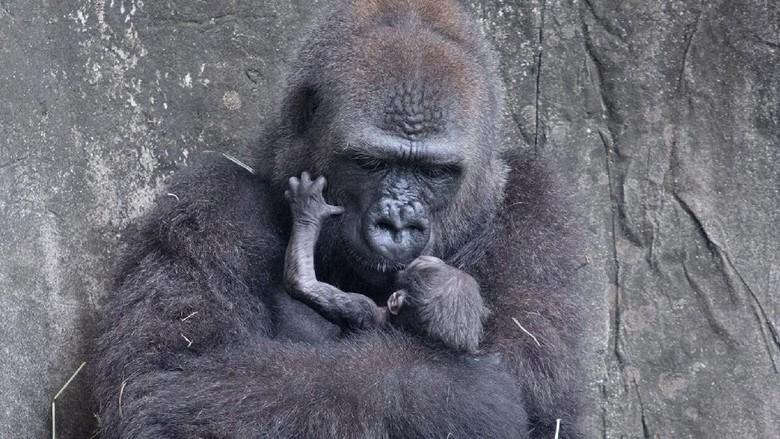 Gorila langka