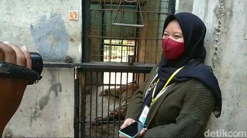 Fakta Harimau Maharani Zoo Kurus hingga Pengunggah Video Minta Maaf