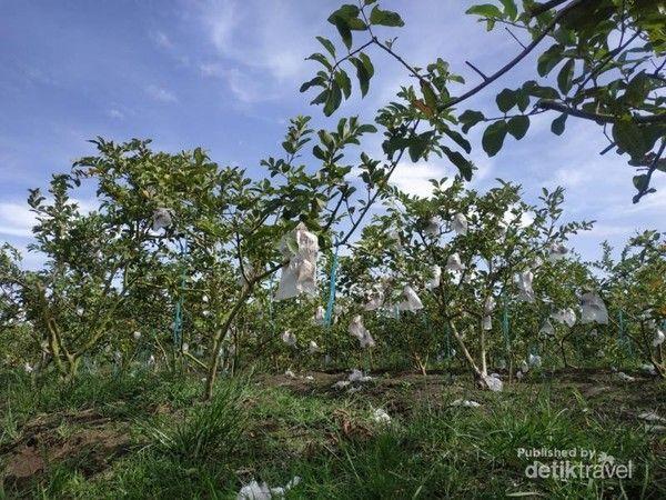 Kebun Jambu di Pidie Aceh