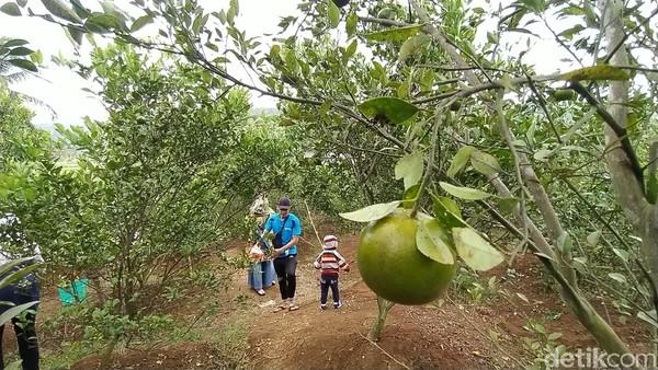 Pengunjung boleh memetik sendiri dan mencicipi jeruk sepuasnya di lokasi kebun. Kecuali bila jeruk hasil yang dipetik ingin dibawa pulang sebagai oleh oleh, harus ditimbang dan dibayar.