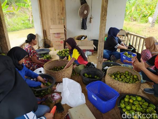 Namanya Wisata Petik Jeruk Cidolog di Perkebunan Ladur, Cisinduk, Desa Janggala, Kecamatan Cidolog.