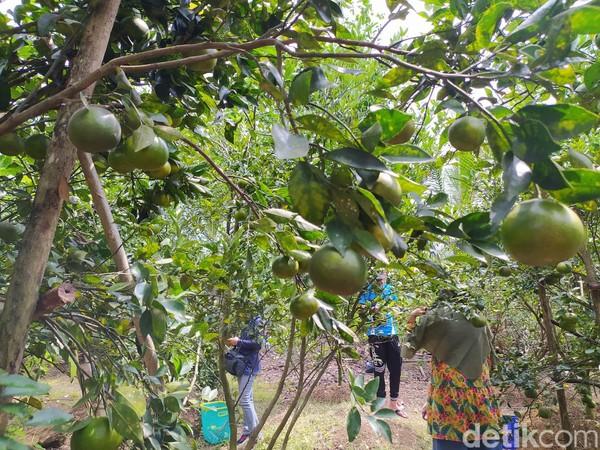 Pengunjung yang datang dari seputar wilayah Ciamis, Tasikmalaya dan Banjar hingga Majalengka. Yang datang umumnya ingin merasakan berwisata memetik buah langsung. Tapi tak sedikit juga pengunjung yang datang sekaligus pedagang buah.