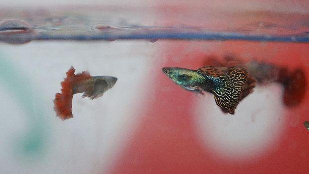 7 Jenis Ikan Hias Air Tawar Yang Mudah Dipelihara Dalam Akuarium