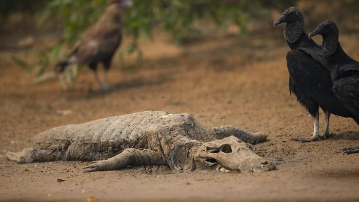 Kebakaran hutan dan lahan di kawasan Brasil berdampak pada kehidupan hewan di sana. Hewan-hewan yang dilindungi terancam keberlangsungan hidupnya imbas karhutla