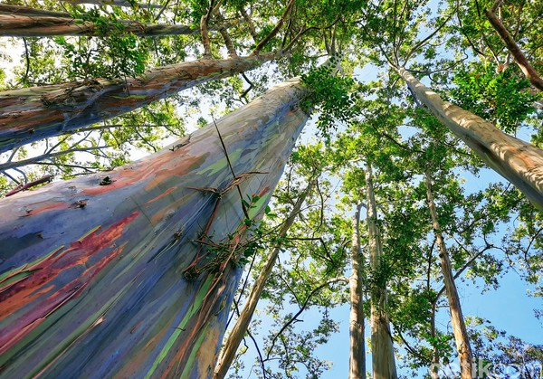 Tak hanya berwarna-warni, pohon ini juga tampak menjulang. Tingginya sekitar 25 meter. Karakter pohon ini juga lain dari pohon umumnya.