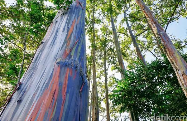 ketika getah atau kambium tanaman itu mengelupas, terjadilah gradasi warna. Batang pohon tersebut akan berwarna hijau, kuning, merah jingga, hingga biru tua, lalu coklat. Siklus ini akan berlangsung dan berulang sepanjang tahun.