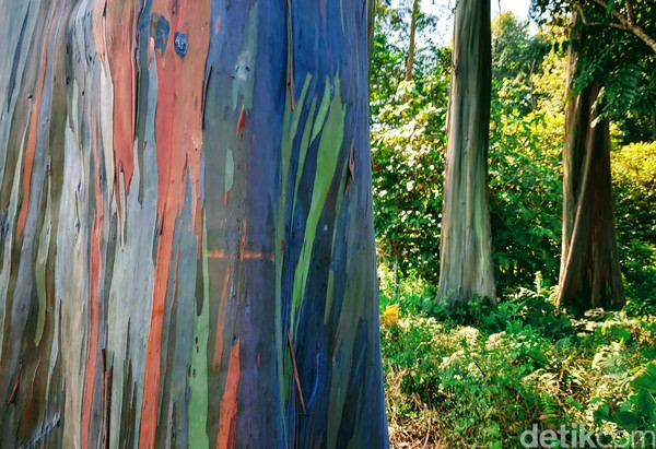 Warna di pohon Eucalyptus muncul akibat proses oksidasi. Getah yang keluar dari dalam pohon dan mengenai kulit pohon di bagian lain yang membentuk sebuah lapisan warna.