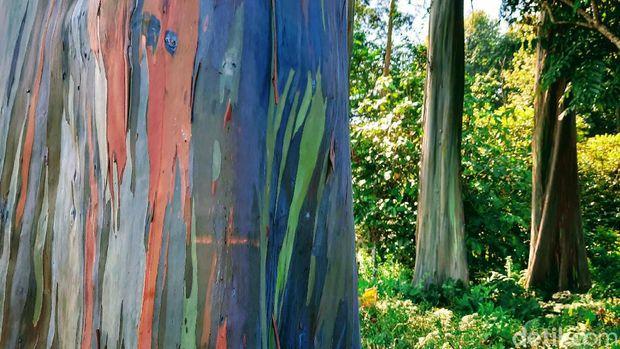 Terletak di Dusun Darungan, Desa/Kecamatan Sumberwringin, di kawasan ini terdapat pohon tampak berwarna. Disebut hutan pelangi karena batang pohonnya memang tampak berwarna-warni bak pelangi. Adapun nama Latin pohon ini yaitu 'eucalyptus'.