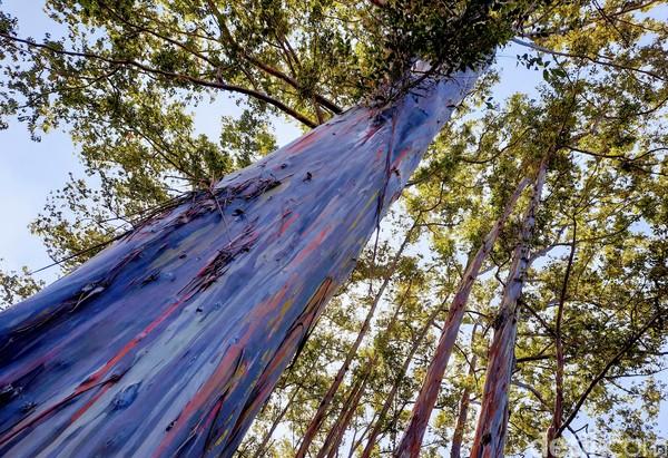 Kawasan hutan eucalyptus di Bondowoso telah ada sejak zaman Belanda, tepatnya sekitar tahun 1939. Ada beberapa jenis eucalyptus di lahan sekitar 23 hektar itu. Diantaranya ecalyptus deglupta, umbelata, triantha, saligna, serta lainnya. Usianya pun dapat mencapai ratusan tahun.
