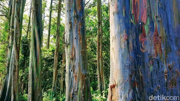 Selain tinggi menjulang, pohon berdiameter sekitar 80 - 120 cm itu masing-masing memiliki dominasi warna berbeda. Yakni kuning, hijau, jingga, dan lainnya. Batang pohonnya juga kadang bermotif loreng. Tampak seperti sengaja dicat.