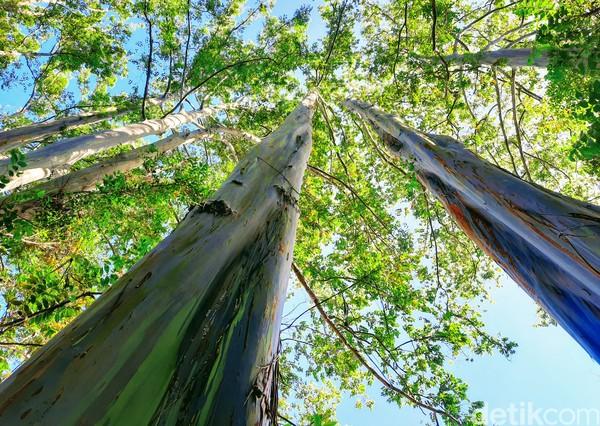 Adapun nama latin pohon ini yaitu eucalyptus. Ini bukan ulah iseng manusia yang ngecat pohon, memang alaminya seperti itu.