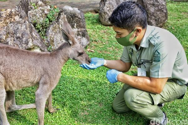 Nah, kamu yang mau ketemu Darwin datang langsung saja ke Taman Safari Bogor ya.