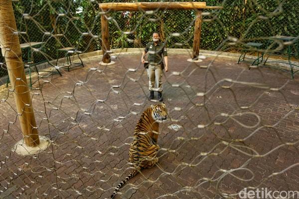 Afri pun menceritakan bahwa menjadi seorang keeper harimau menjadi kebanggan tersendiri bagi dirinya. Karena jarang perempuan menjadi keeper hewan buas. (Rafida Fauzia/detikcom)