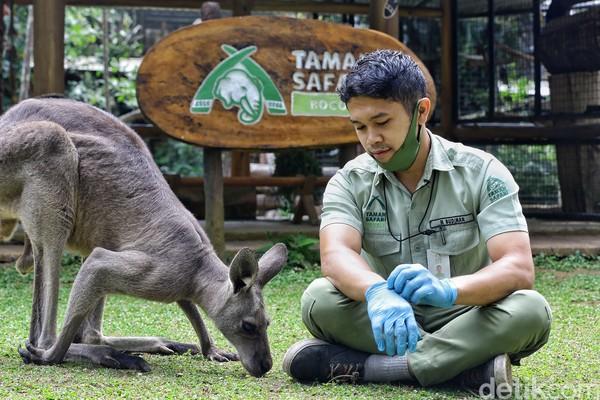 Darwin adalah kanguru abu-abu Asutralia yang menjadi penghuni kawasan Baby Zoo di Taman Safari Bogor.