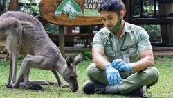 Kenalkan Darwin, Kanguru Abu-abu nan Imut di Taman Safari Bogor