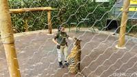 Cewek Ini Nggak Ada Takut-takutnya Sama Harimau