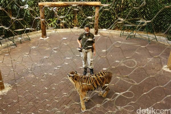 Walau sudah hampir dua tahun bersama harimau, bukan berarti Afri tidak punya ketakutan berinteraksi dengan hewan buas ini. (Rafida Fauzia/detikcom)