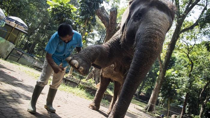 Pawang gajah (keeper) membersihkan kuku dan telapak kaki seekor gajah Sumatera saat perawatan satwa di Kebun Binatang Bandung, Jawa Barat, Senin (14/9/2020). Perawatan tersebut guna menjaga kesehatan satwa dan memudahkan gajah berjalan di atas permukaan beton atau