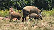 Apakah Demam Babi Afrika Berbahaya Bagi Manusia?