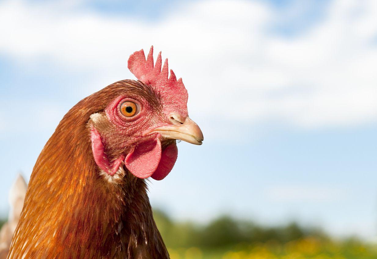 Alasan Orang Ogah Makan Kepala Ayam