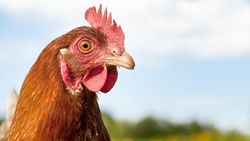 Beragam Alasan Netizen Kenapa Tak Mau Makan Kepala Ayam