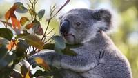 Sedih, Australia Sudah Kehilangan 1/3 Populasi Koala