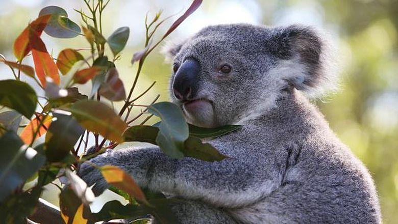 Koala di New South Wales, Australia, diprediksi punah tahun 2050. Pemerintah dan tim relawan  turun tangan untuk bahu membahu melindungi spesies dan habitatnya.