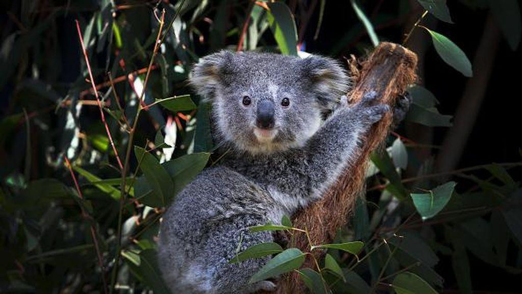 Diprediksi Punah 2050, Koala New South Wales Berpacu dengan Waktu