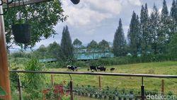 Mengintip Peternakan Sapi Gundaling Farmstead Berastagi