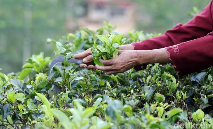 Petani memetik teh di perkebunan teh Nglinggo, Kulonprogo, Yogyakarta, Rabu (16/9/2020). Sentra perkebunan teh Nglinggo selain menjadi penghasil teh, juga menawarkan tujuan wisata alam yang menyuguhkan pemandangan hamparan perkebunan teh.