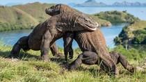 Komodo, Hewan Pulau Rinca yang Jadi Jurassic Park