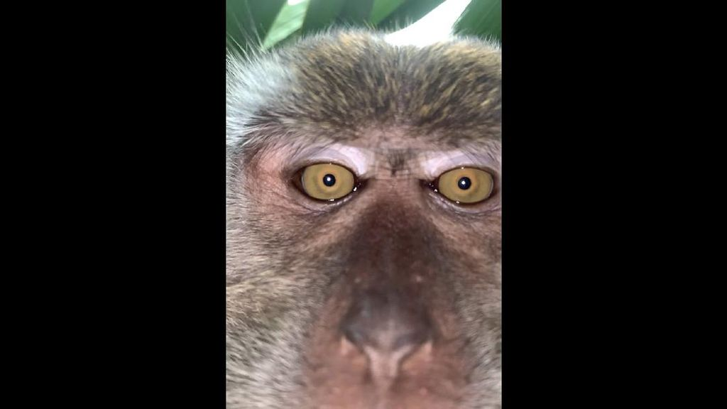 Monyet Curi iPhone X Lalu Selfie-selfie, Ini Hasilnya