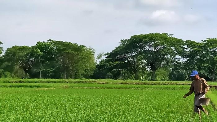 Petani di Kecamatan Juwiring mulai memupuk lahan