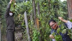 Saat COVID-19 menyebar dengan cepat di pedalaman Amazon, Peru, suku pedalaman Shipibo memutuskan untuk beralih ke pengobatan tradisional leluhur mereka.