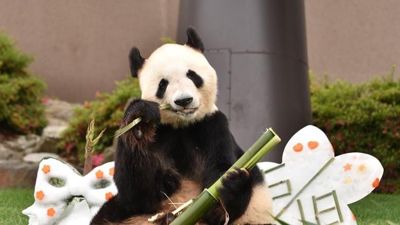 Giant Panda Eimei