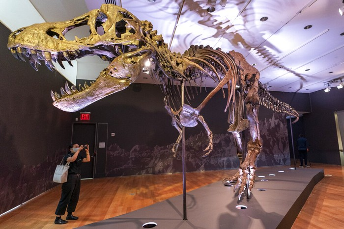 A detail of Stan's teeth, one of the largest and most complete Tyrannosaurus rex fossil discovered, is on display, Tuesday, Sept. 15, 2020, at Christie's in New York. The T. rex named after the paleontologist who first found the skeleton's partially unearthed hip bones, will be auction on Oct. 6, 2020 and will be on public view from Sept. 16 - Oct. 21, 2020 to pedestrians through Christie's floor-to- ceiling gallery windows and a limited number of in-gallery viewings by appointment. Stan's head on the completed display of is a casting of the original, which is too heavy for the display. (AP Photo/Mary Altaffer)