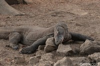 Komodo terlihat asyik bersantai di antara bebatuan.