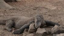 Ngenes! Komodo Vs Truk Proyek di Taman Nasional