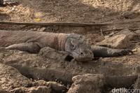 Komodo ini bisa berlari cukup kencang lho kalau sudah mengincar mangsanya.