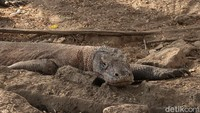Viral Foto Komodo vs Truk Proyek, Netizen Gaungkan #SaveKomodo