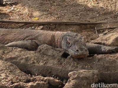 Komodo, Si Naga Purba yang Pemarah