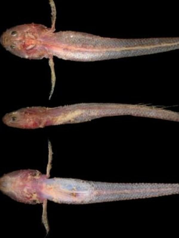 Platygobiopsis hadiatyae memiliki kepala besar dan tidak memiliki sisik pada dada dan perutnya. Ikan gobi ini ditemukan pada kedalaman 182-172 meter di perairan Panaitan, Selat Sunda. (Tan Heok Hui)