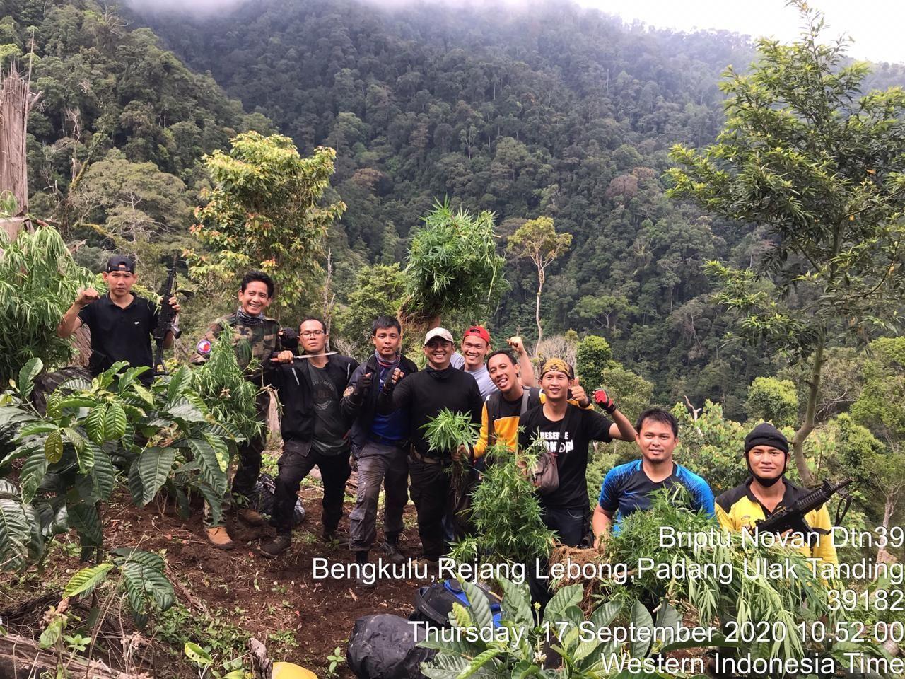 Polda Bengkulu temukan 1.500 batang ganja di kebun kopi (dok istimewa)