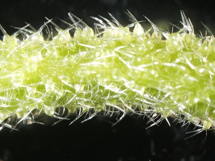 Gympie-gympie, pohon beracun dari australia